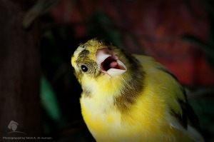 canary_bird_ii_by_taleb83
